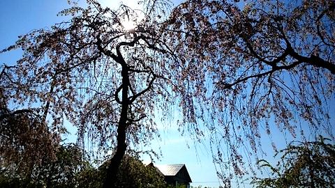 20150429喜多方の枝垂れ桜22