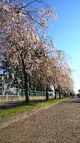 20150429喜多方の枝垂れ桜24