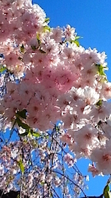 20150429喜多方の枝垂れ桜25