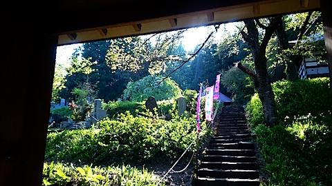 20150429杉の糸桜4