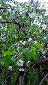 20150429杉の糸桜3