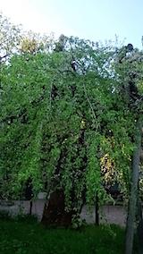 20150429杉の糸桜5