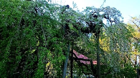 20150429杉の糸桜8