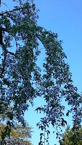 20150429杉の糸桜7