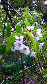 20150429杉の糸桜10