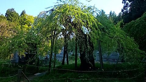 20150429杉の糸桜9
