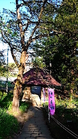 20150429杉の糸桜11