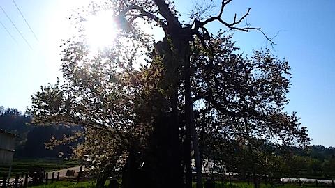 20150429千歳桜1
