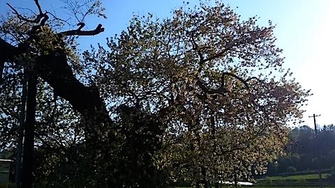 20150429千歳桜2
