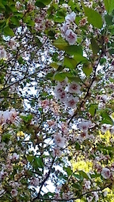 20150429虎の尾桜1