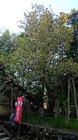 20150429虎の尾桜2