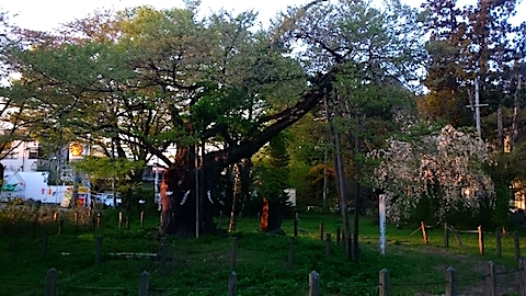 20150429神代桜1