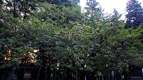 20150429薄墨桜3