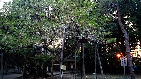20150429薄墨桜4