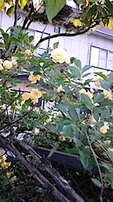20150513会津のトゲなしバラ