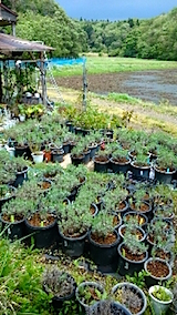 20150513山の様子ラベンダーの鉢植え