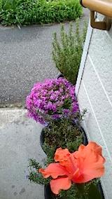 20150514ハイビスカスの花