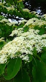 20150514山でひときわ目立つ白い花
