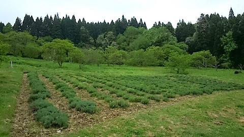 20150514ラベンダー畑の様子