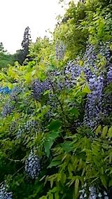 20150514山の様子藤の花