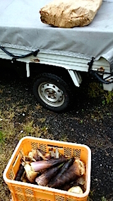 20150516タケノコの収穫4