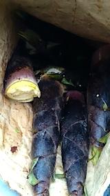 20150516タケノコの収穫6