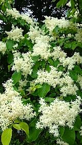 20150516山の様子白い花1