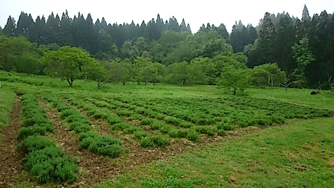 20150516ラベンダー畑の様子1