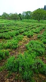 20150516ラベンダーの畑2