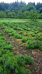 20150516ラベンダーの畑3