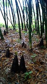 20150516タケノコの収穫1