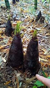 20150516タケノコの収穫2