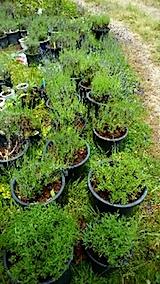 20150608鉢植えラベンダーの準備