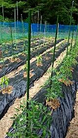 20150608野菜の畑