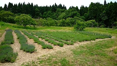 20150608ラベンダー畑の様子1