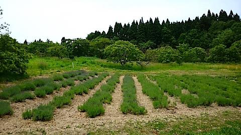 20150608ラベンダー畑の様子2