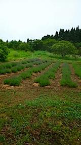 20150609ラベンダーの畑2