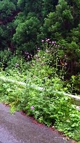 20150609山の帰り道の様子アザミの花