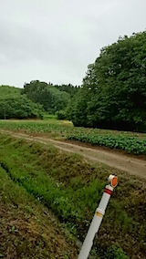 20150609山の帰り道の様子カボチャ畑