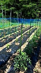 20150611野菜畑の様子