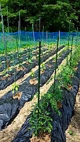 20150612野菜畑の様子