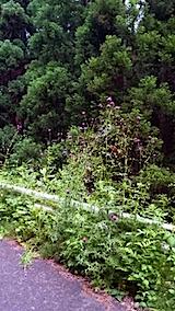 20150612山からの帰り道の様子アザミの花
