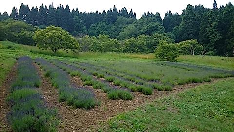 20150614ラベンダー畑の様子1