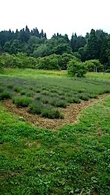20150615ラベンダーの畑1