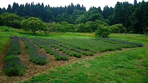 20150615ラベンダー畑の様子1