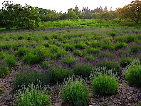 20150615ラベンダーの畑