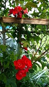 20150616真っ赤なバラの花