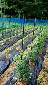 20150616野菜の畑