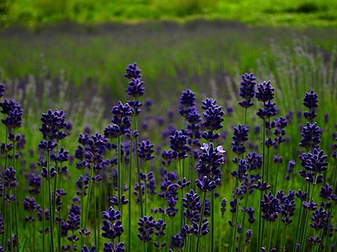 20150616ラベンダーこいむらさき開花