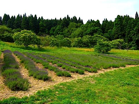 20150616ラベンダーの畑